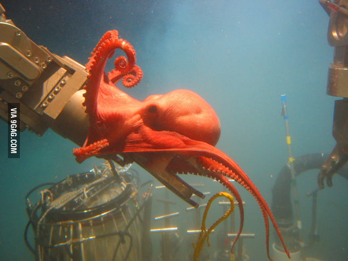 Octopus is curious about NOAA equipment.