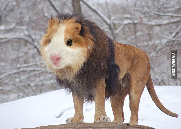 Guinea Lion