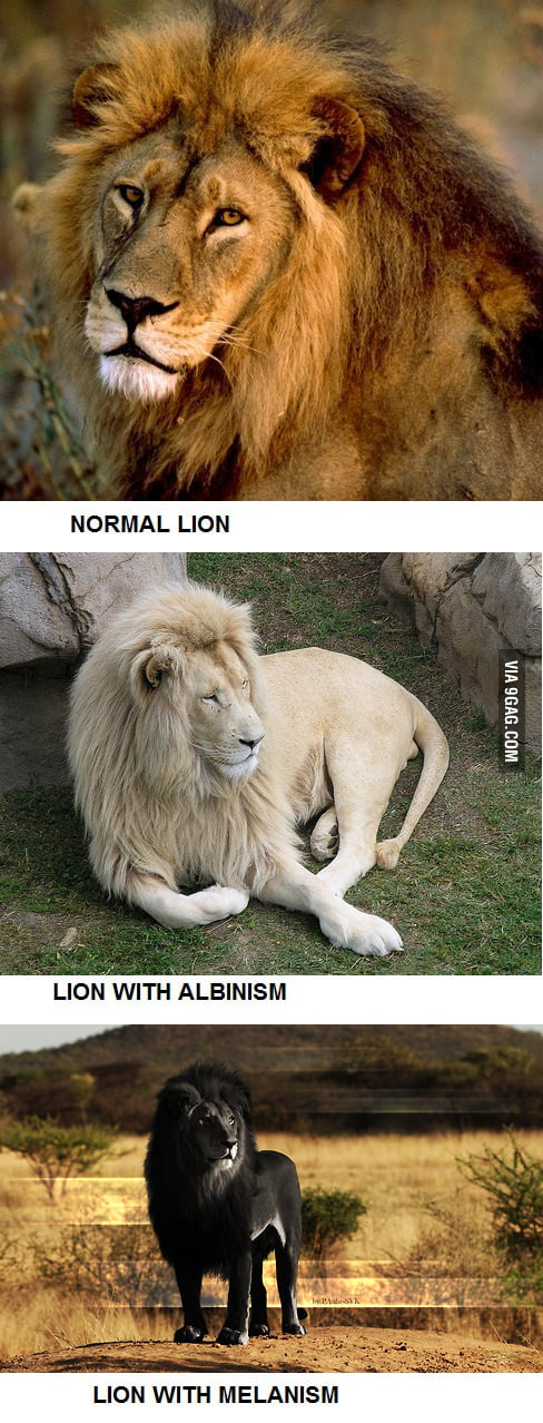 Normal, Albino and Melanistic Lion
