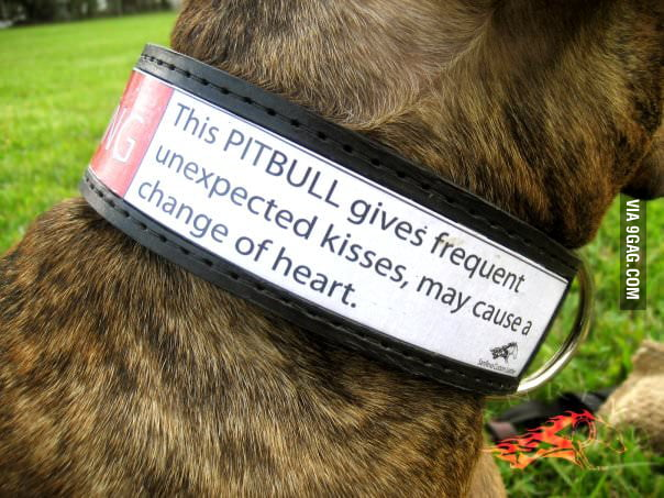 This PITBULL gives frequent unexpected kisses...