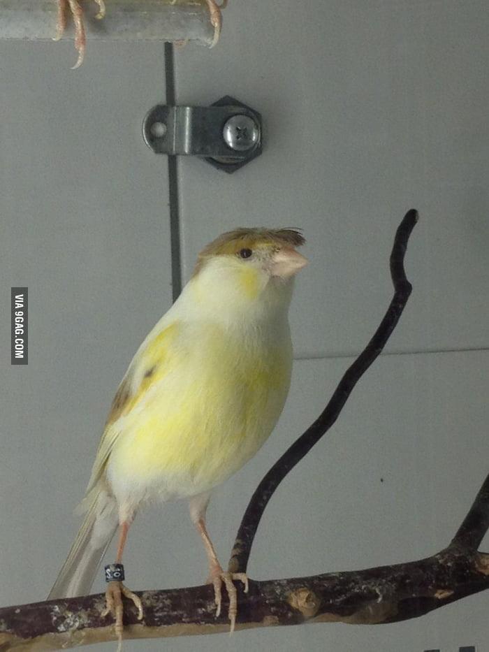 This bird has Donald Trump's hair!
