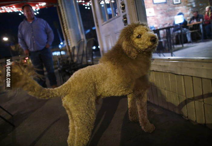 Labradoodle with a lion haircut.
