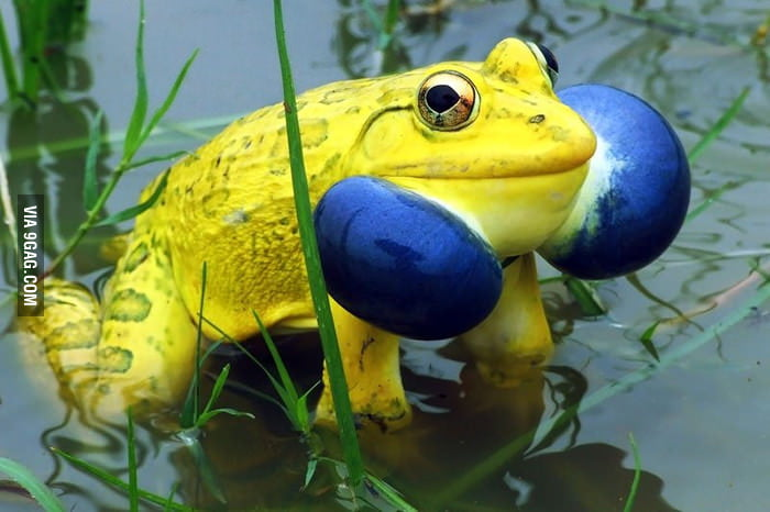 Hi, I'm a frog with blue cheeks.