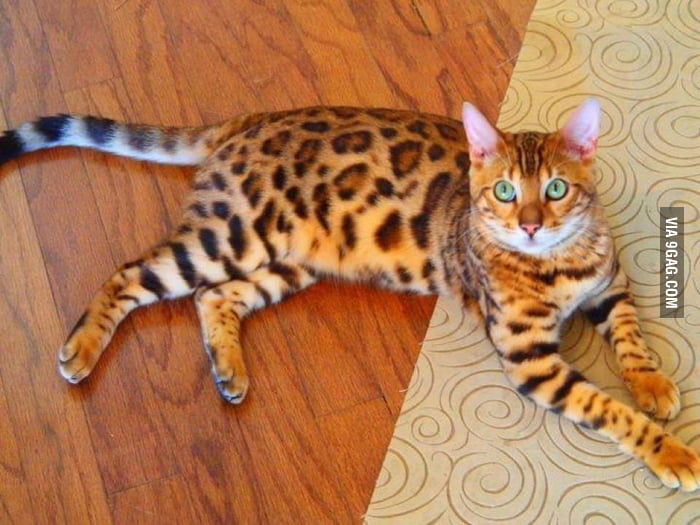 My friend has a cat which looks like and leopard.