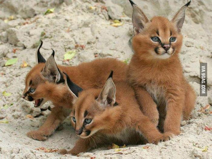 Baby bobcats