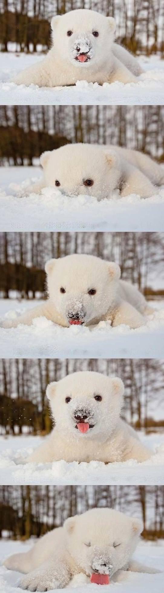 Baby Polar bear licking snow.