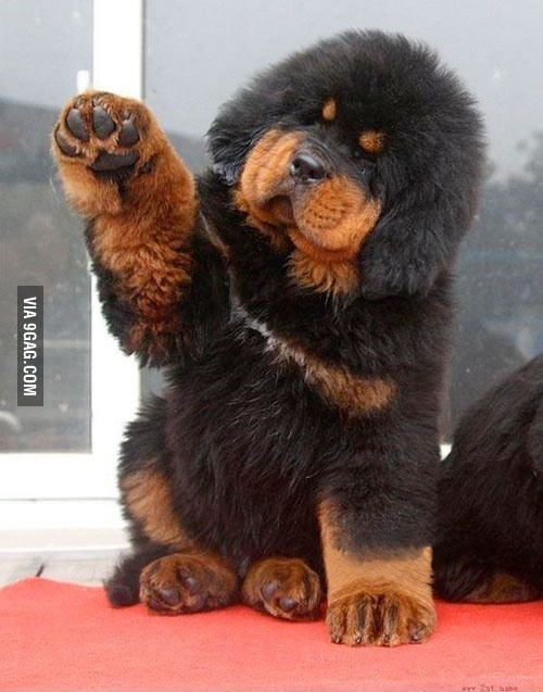 Tibetan Mastiff is like a live teddy!