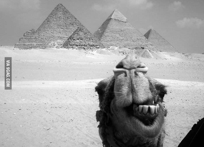 Photobomb LvL: Camel