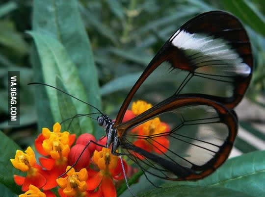 The coolest butterfly you'll ever see