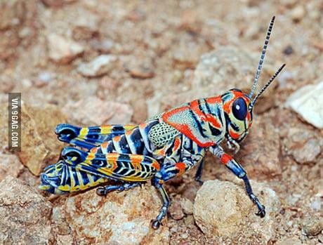 Colorful grasshopper - 9GAG