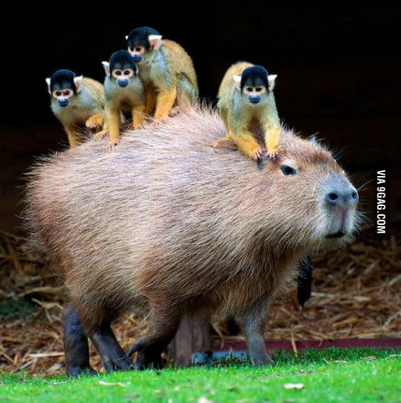 No time to explain, get on the capybara