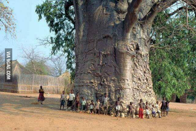 A 5000 year old tree