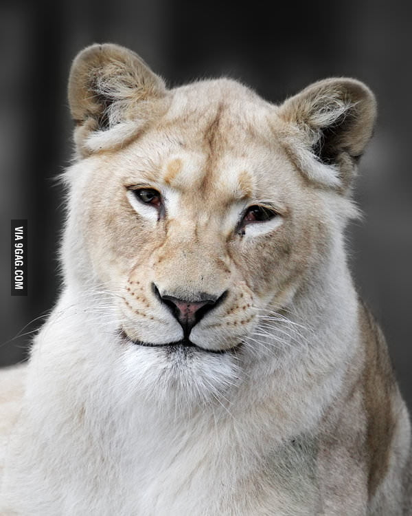 Ridiculously photogenic lion