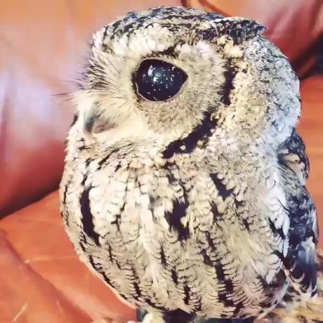 A blind owl