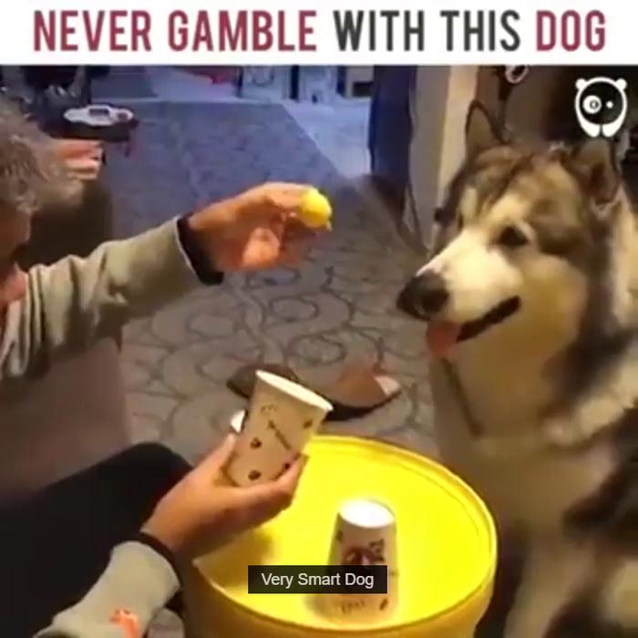 Gambler dog