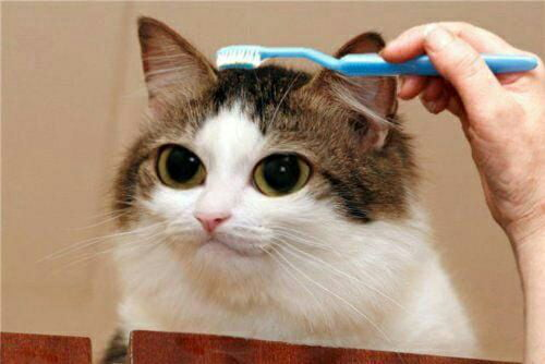 Cat Being Brushed With A Toothbrush 9gag