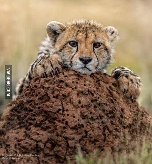 Confession Cheetah Memeuse It For Confessing Your Cheating
