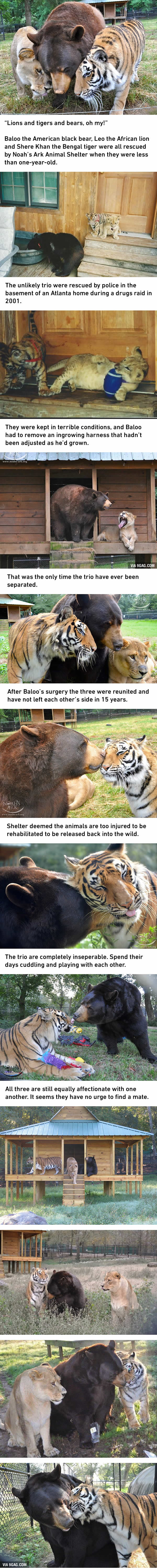 Tiger, Lion And Bear, Oh My! The Unlikely Trio Are Best Friends For 15 Years
