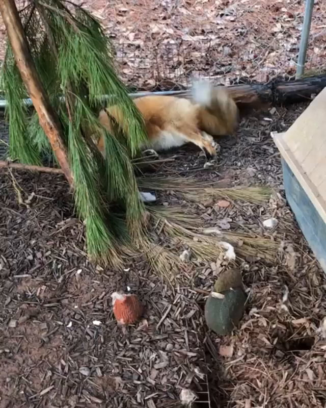 Rescue fox overjoyed to see its hooman again