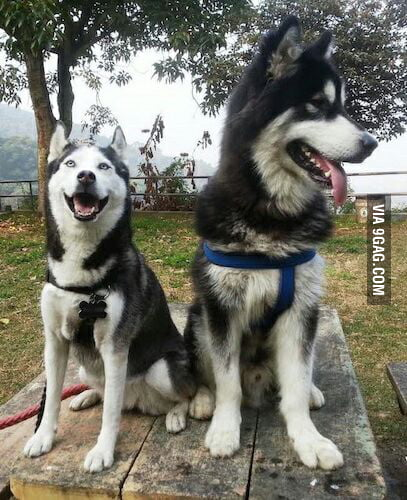 husky siberian and wolf relationship