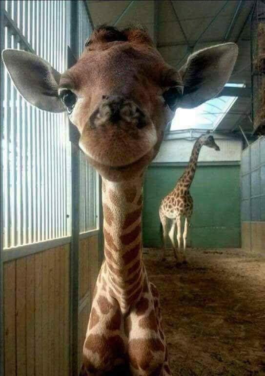 New born baby giraffe