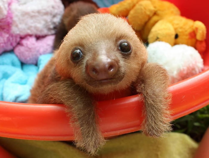 A baby sloth!