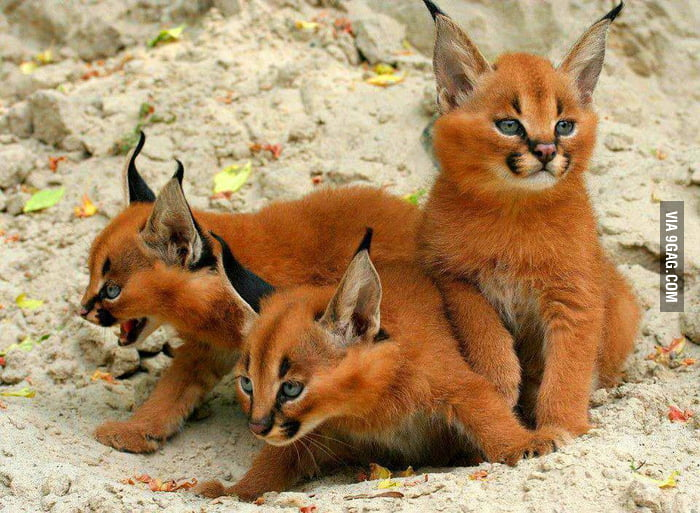 Fox? Cats? Nope, they're Caracal kittens!
