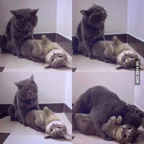 How cats do sex