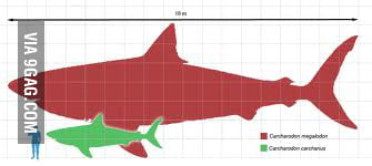 The Megalodon (extinct shark species), great white shark and