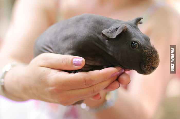 So when you shave a guinea pig it will turn into a tiny hippo!