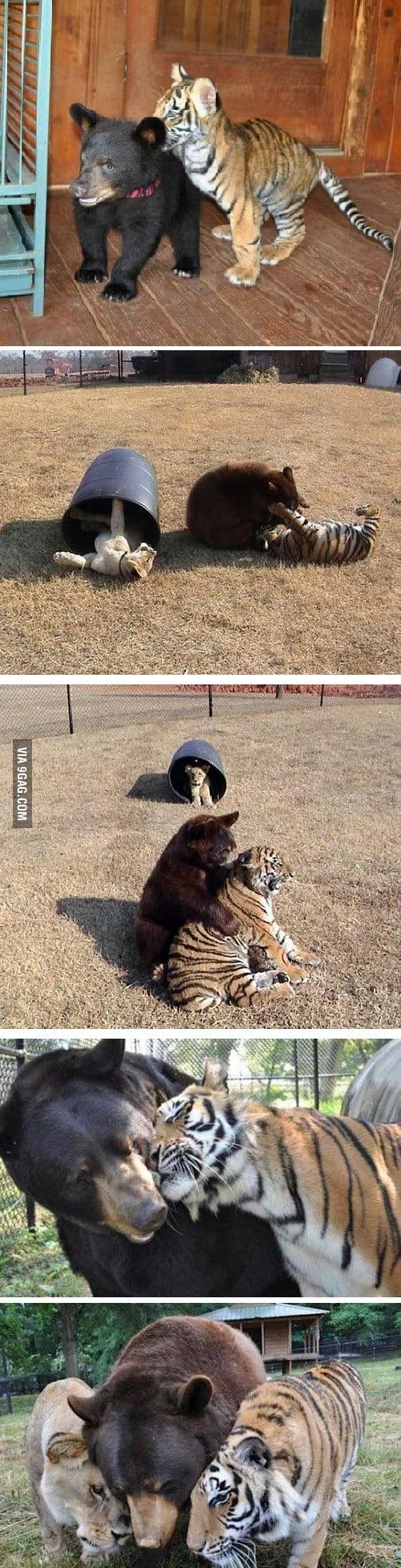 Lion, tiger and bear raised together after rescue from drug dealer