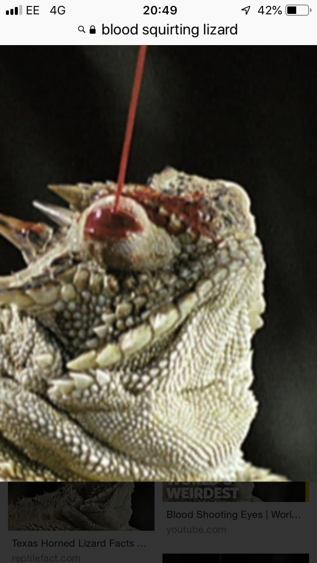 Nude pregnant horned lizard squirting blood out