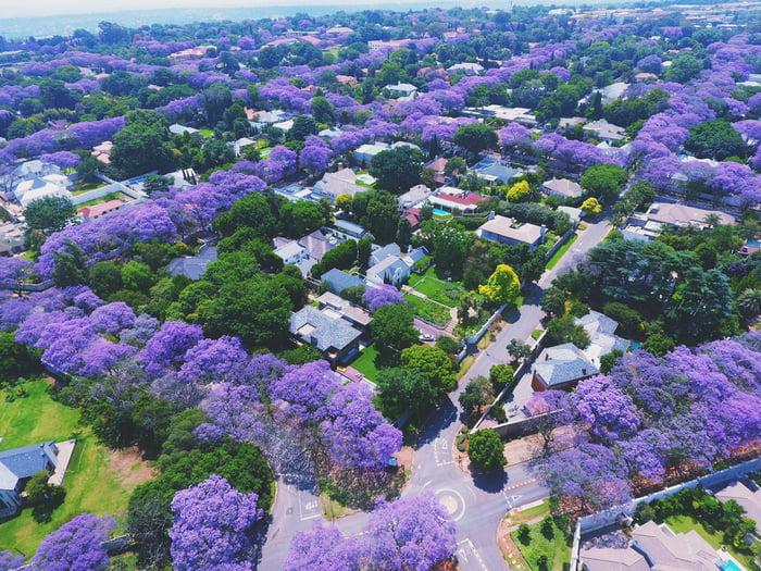 Jacaranda trees blooming in Johannesburg