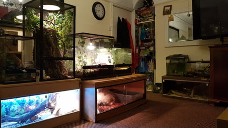 My Reptiles collection Tegu, Brearded Dragon, Veil chameleon, skink, bird eater spider,red knee spider, 2 tri scorpians, snake and axoltol