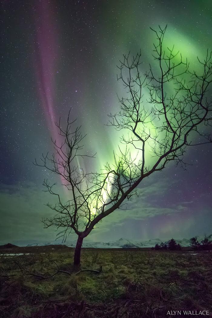 The aurora tree.