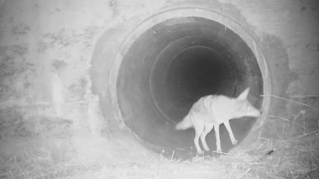 Coyote waiting for its badger pal as they passed under a busy California highway. Coyotes and badgers are known to hunt together.