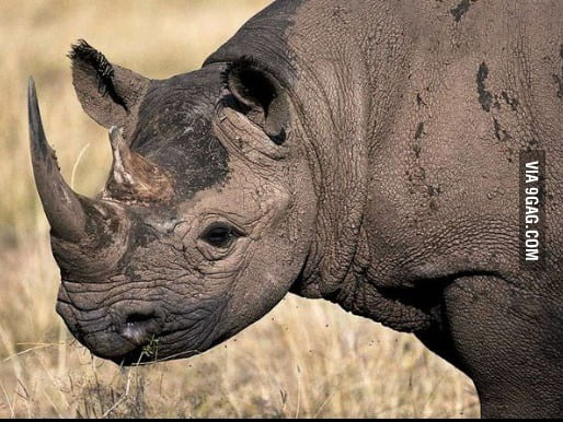R.I.P to the black rhino species that went extinct this thursday