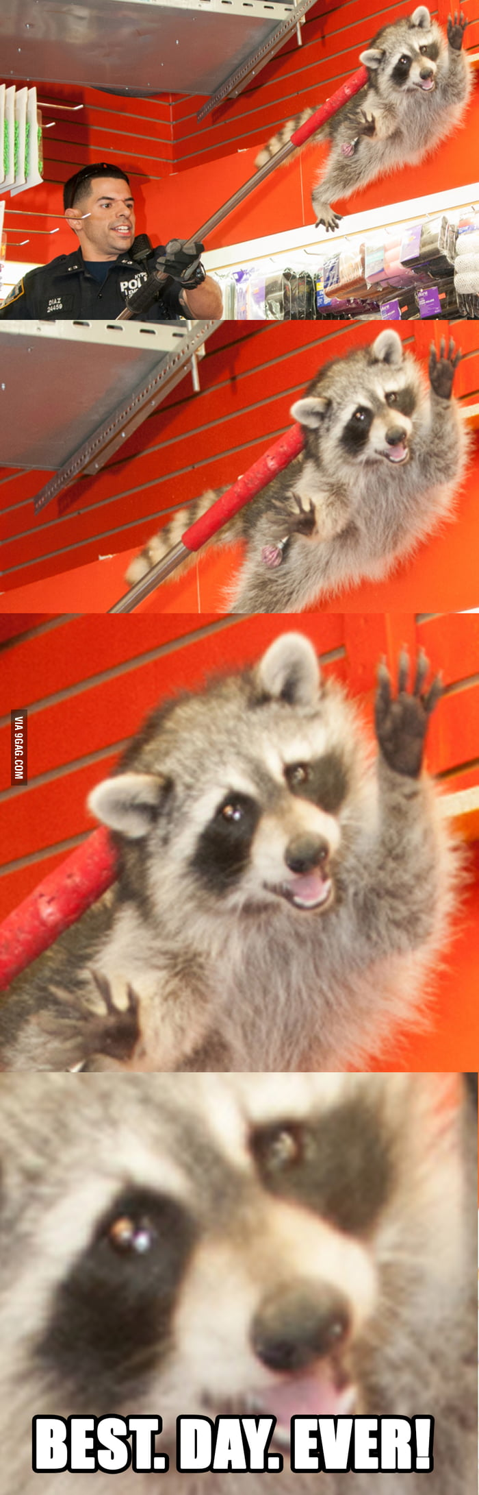aAVD22E_700b racoon best day ever! 9gag