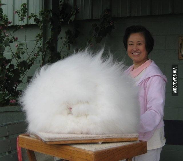 A Giant Angora Rabbit