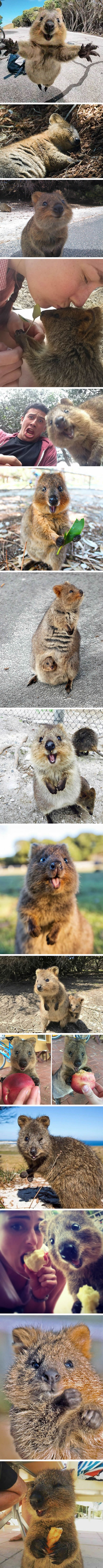 Snap-Happy Quokka Is The Most Playful Creature On The Planet