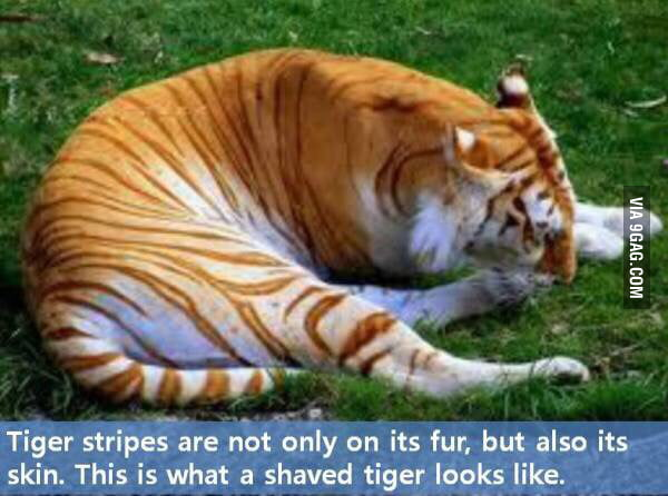 A shaved tiger pic 256