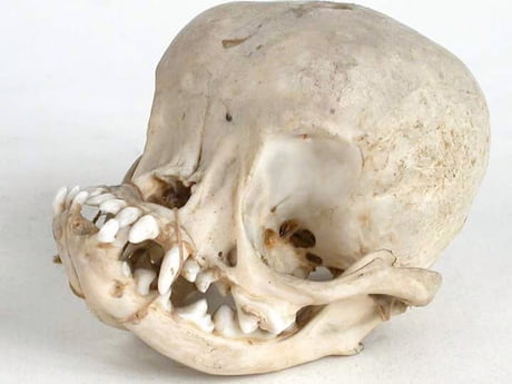 Pug skull. It's a miracle they even exist