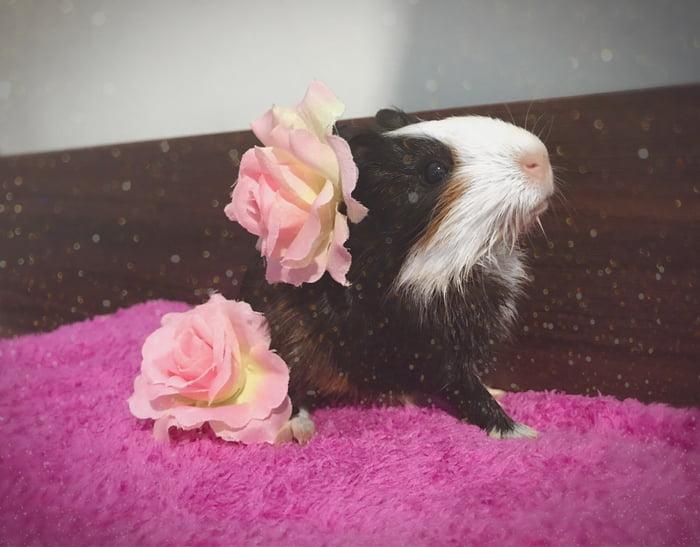 Meet Marble My New Baby Guinea Pig Soo Photogenic 9gag