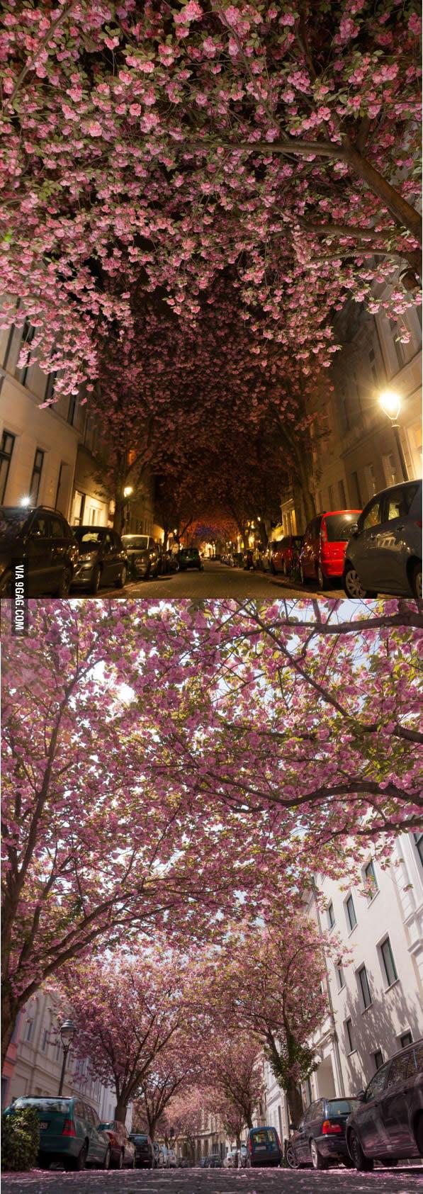 Cherry Blossom Street in Bonn