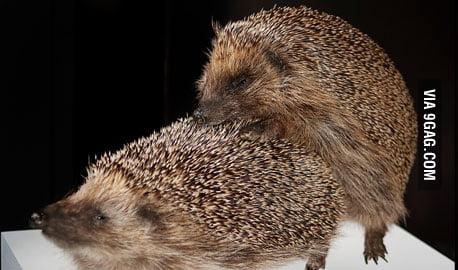 Hedgehog sex pics