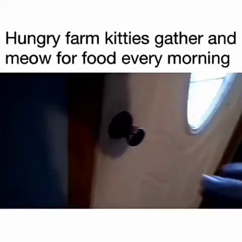 Hungry farm kitties gather and meow for food every morning