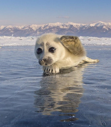 Photographer waits 3 years to get this picture of a rare seal on ice.