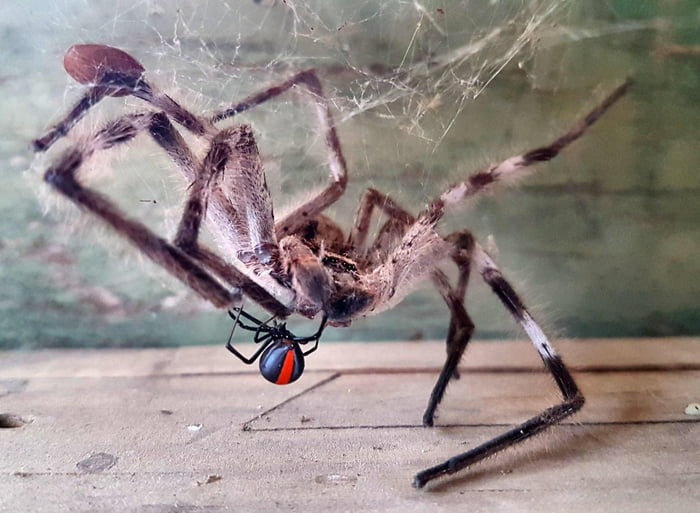 Huntsman dancing with Redback, somewhere in Australia - Amie