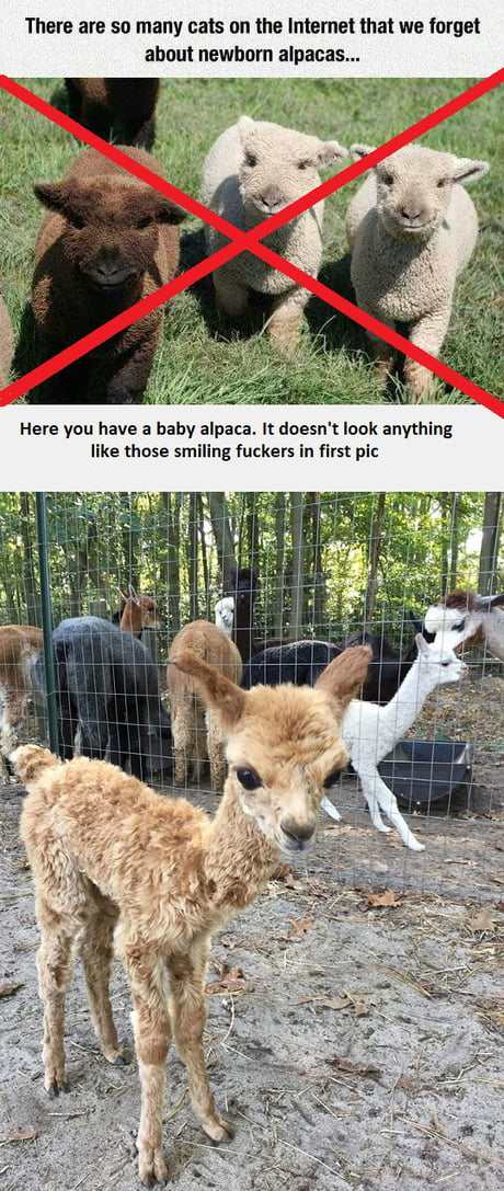 Not so alpacas as you might think