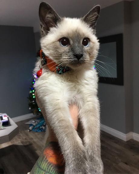 Meet Odin He S A Hypoallergenic Balinese Kitten Who S Full